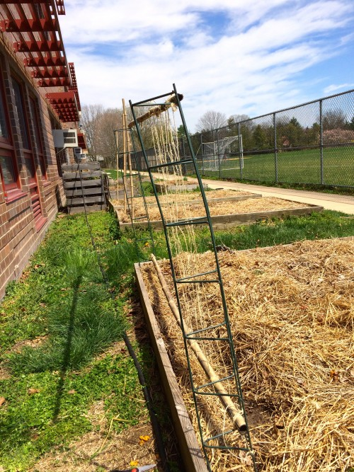 Pea seedlings soon will be stretching up to grasp the twine, metal and bamboo  trellis, now under way.